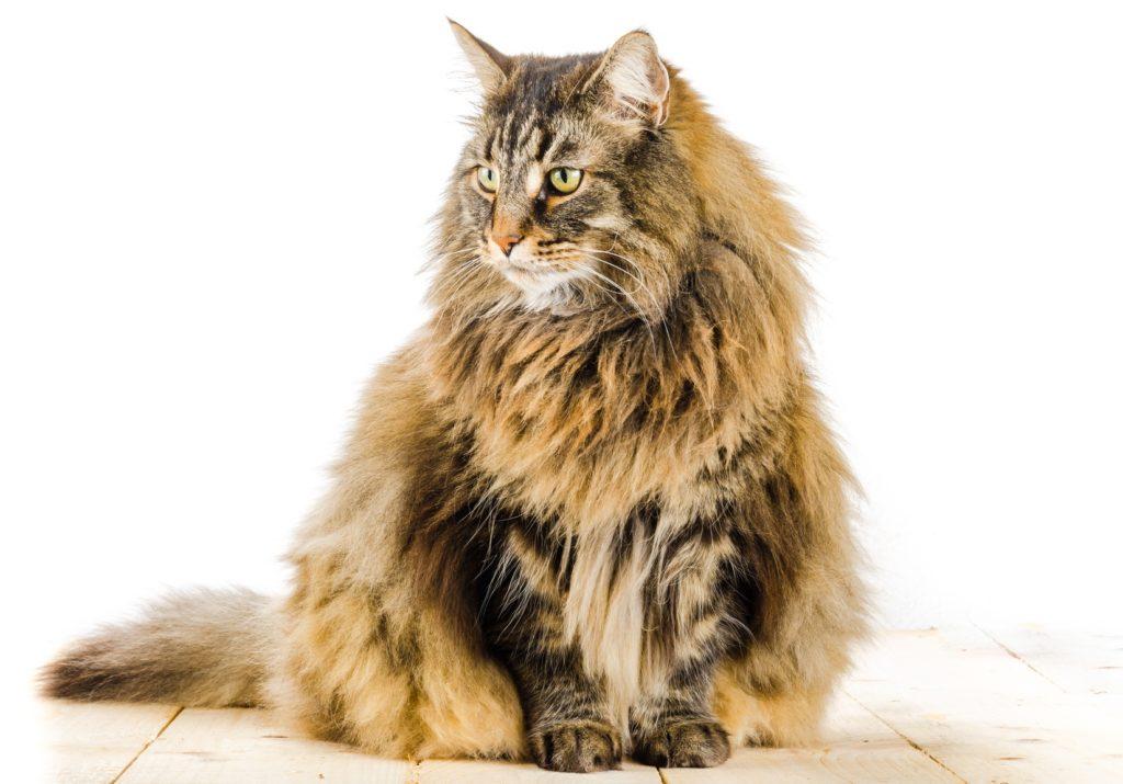 Norvégien races des plus grands chats du monde