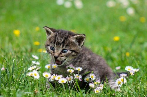 herbe-a-chat-bienfaits