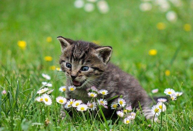 chat mange herbe à chat