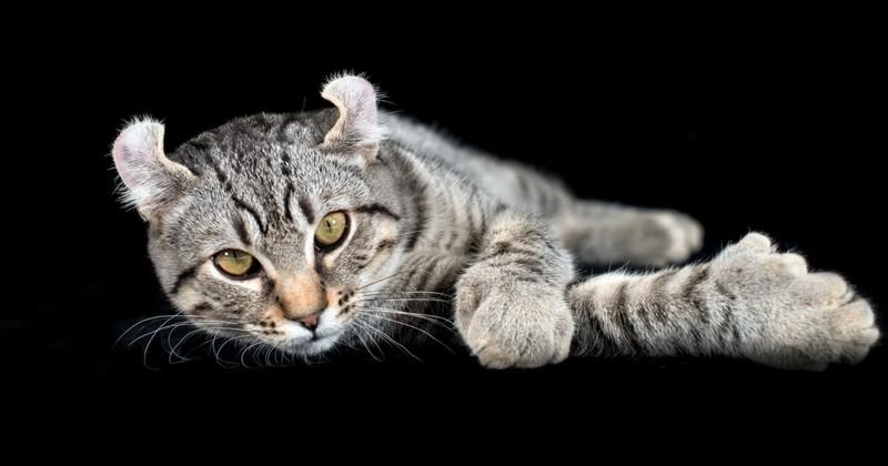 highland lynx races des plus grands chats du monde