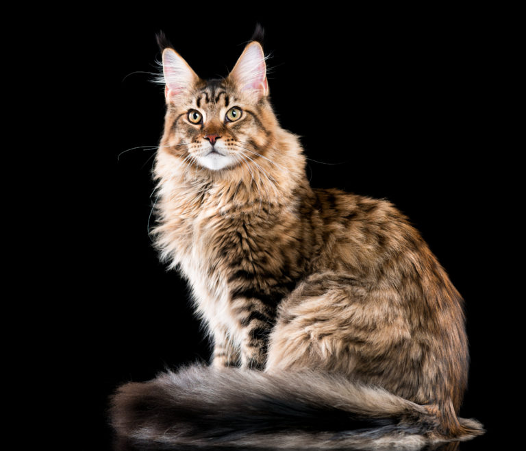 main coon races des plus grands chats du monde