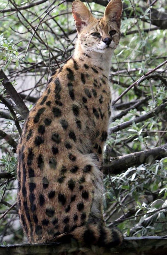 savannah serval