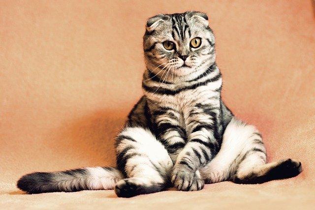 chat âgé diabete
