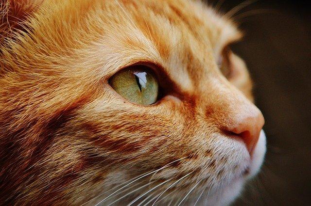 chat agé maladie rein